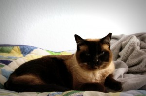 Coco the Siamese car