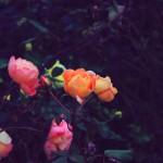 Roses in Regent's Park