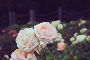 Rose Gardens Regent's Park