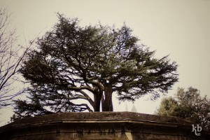 Cedar of Lebanon, Highate Cemetery