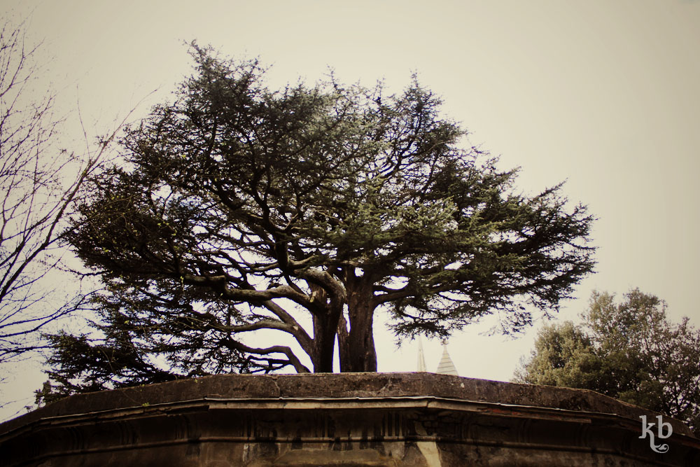 Cedar of Lebanon, Highate Cemetery