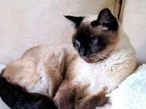 Coco the Siamese cat